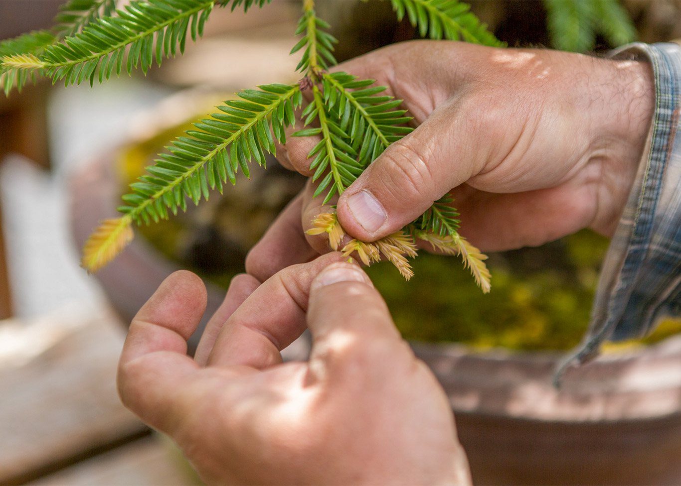 redwood_pinching