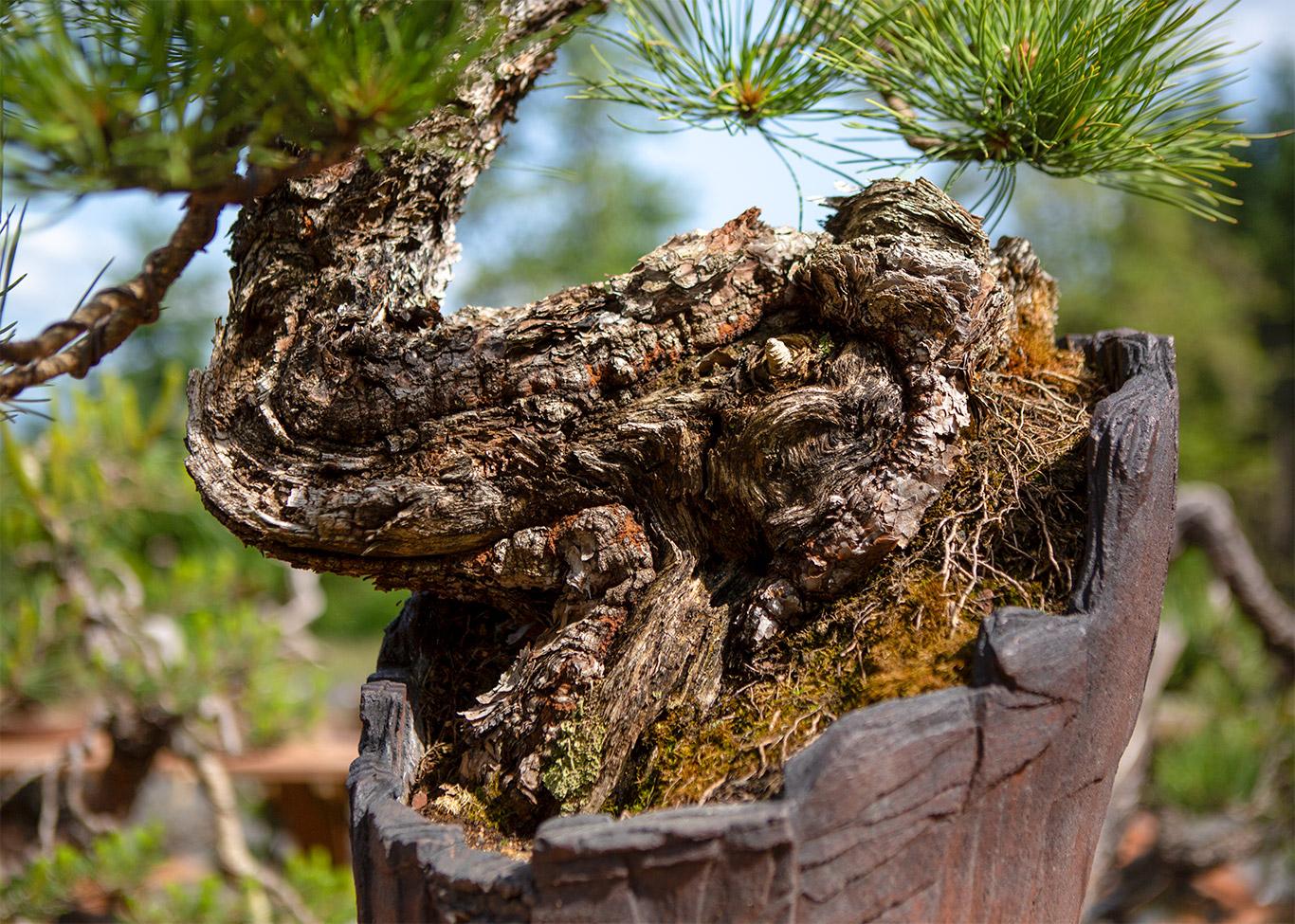ponderosa_pine_base