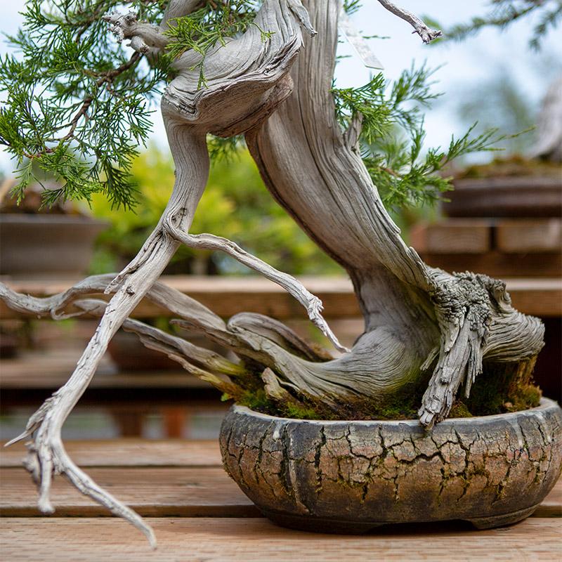 juniper_bonsai_mirai