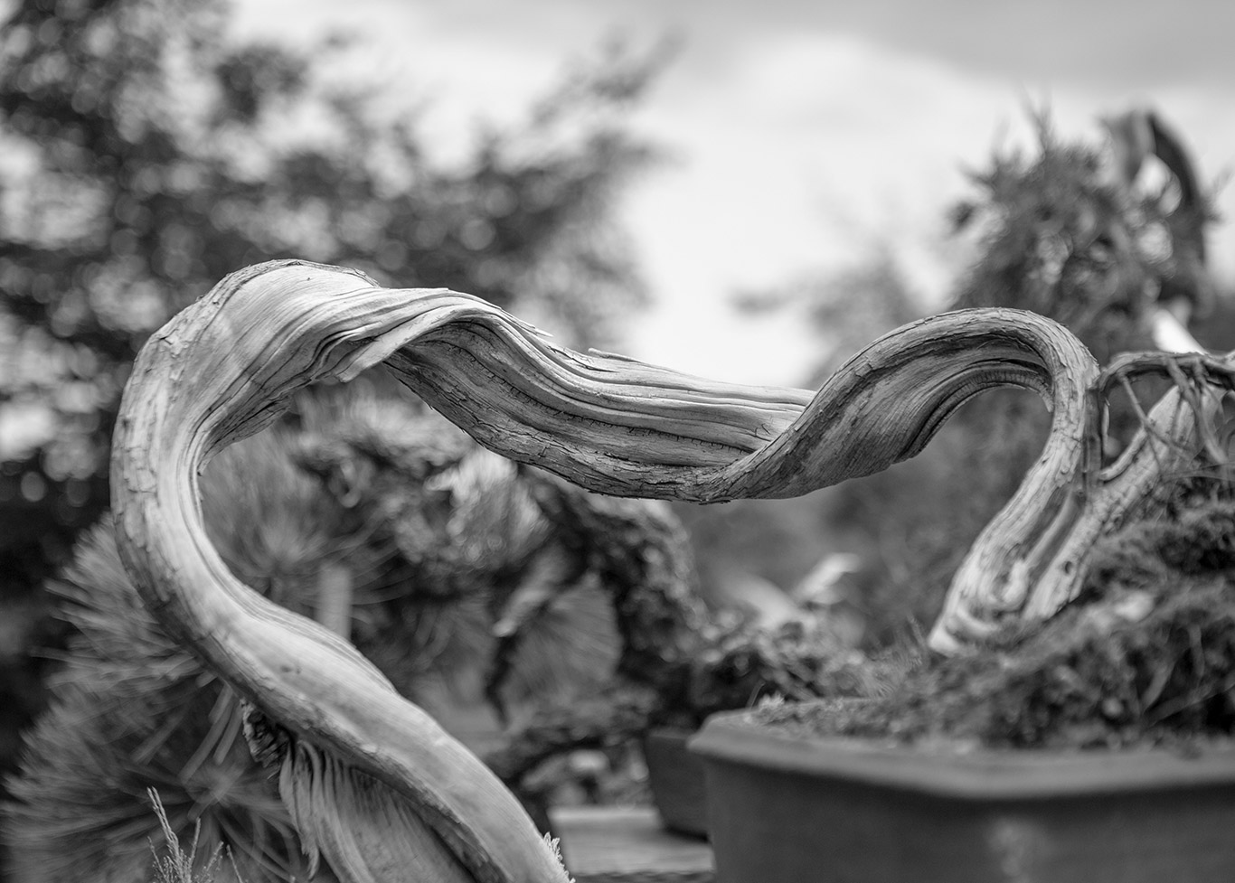juniper_feminine_bonsai