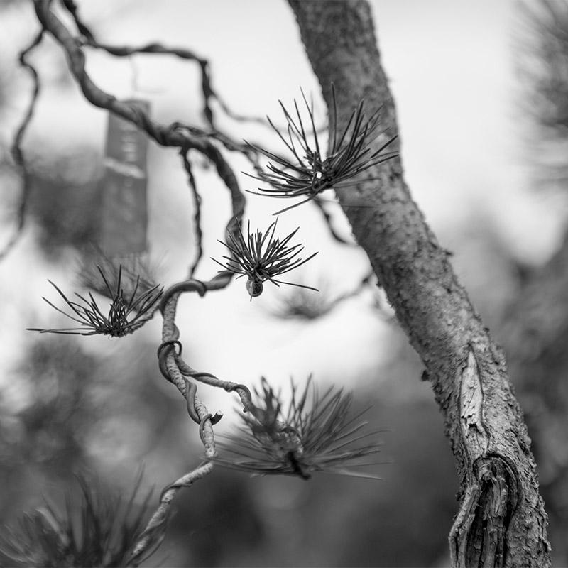 feminine_branch_bonsai