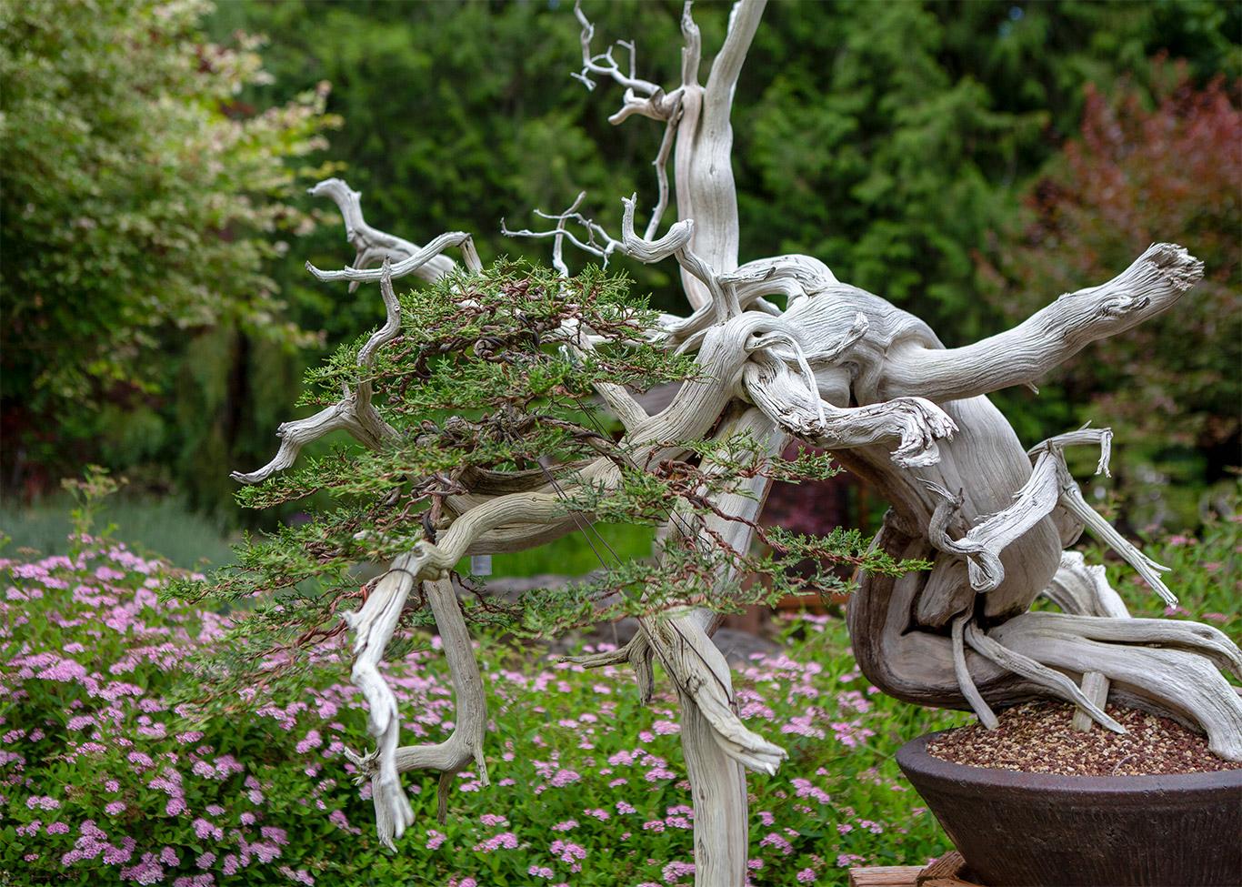 juniper_bonsai