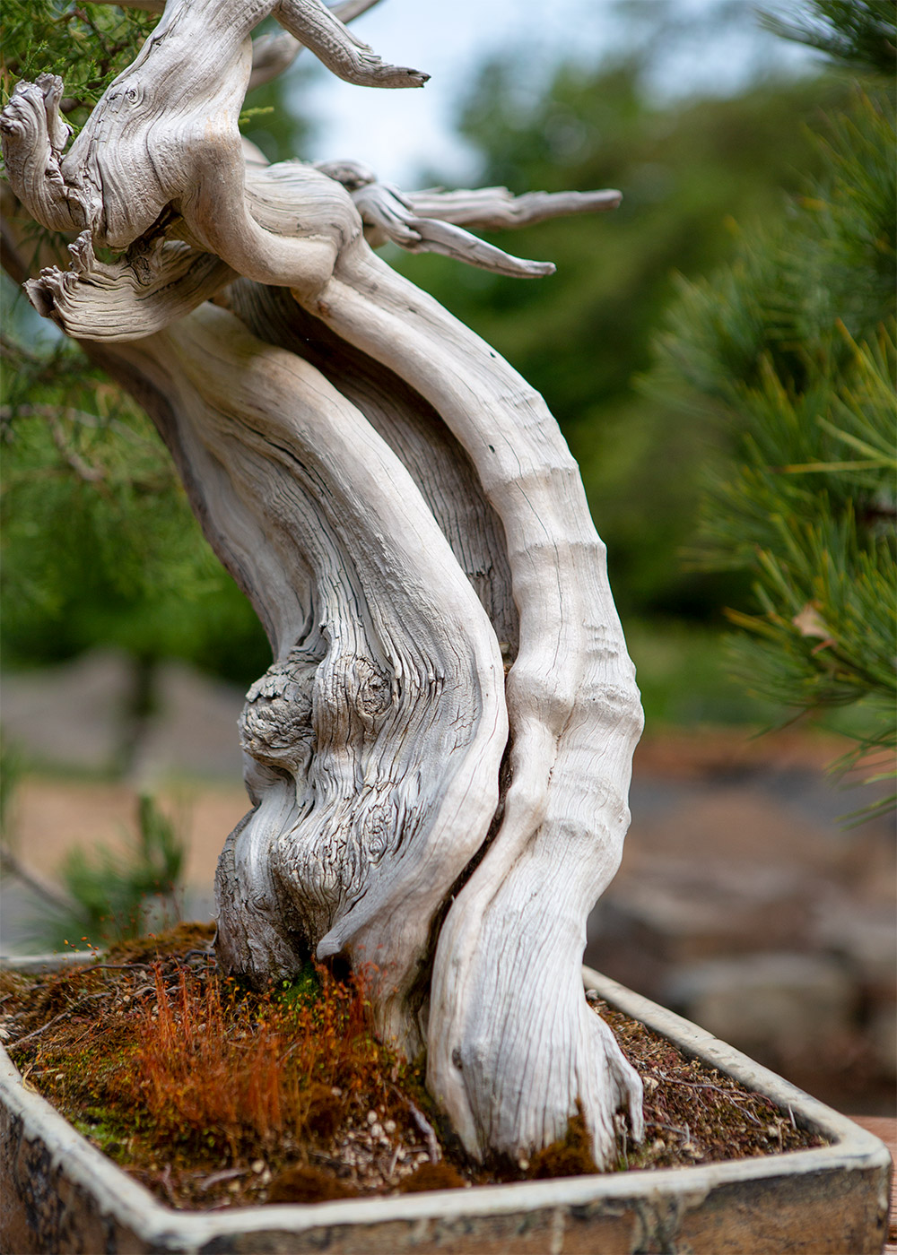 bonsai_trunk_juniper