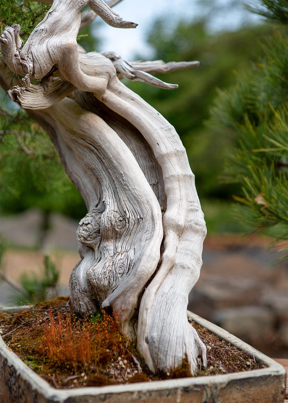 bonsai_trunk_juniper