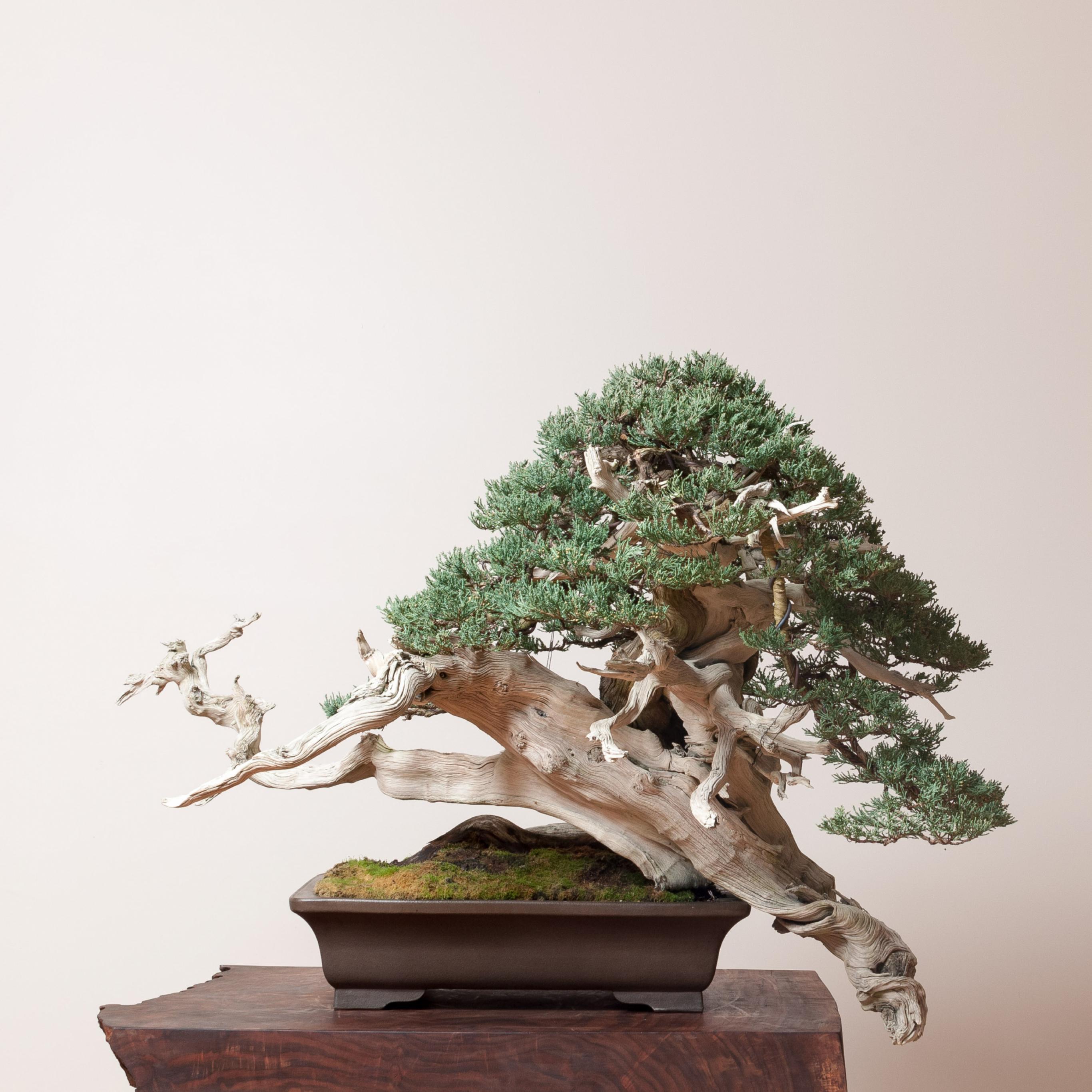 Juniperus Bonsai Mirai