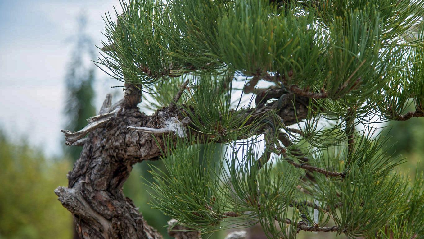 ponderosa_pine_bonsai_mirai