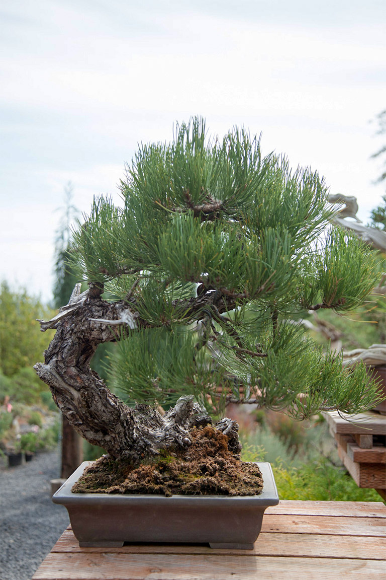 Maximizing Ponderosa Pine Bonsai Mirai