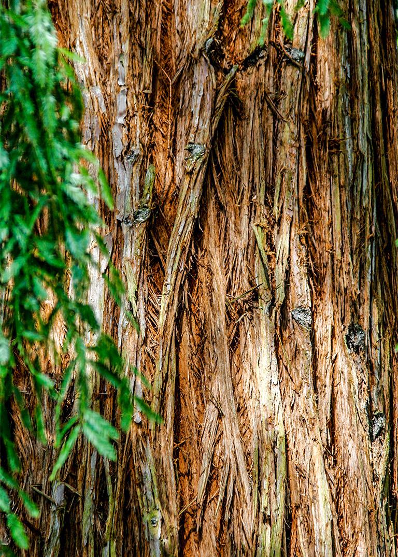 Coastal Redwoods Bonsai Mirai