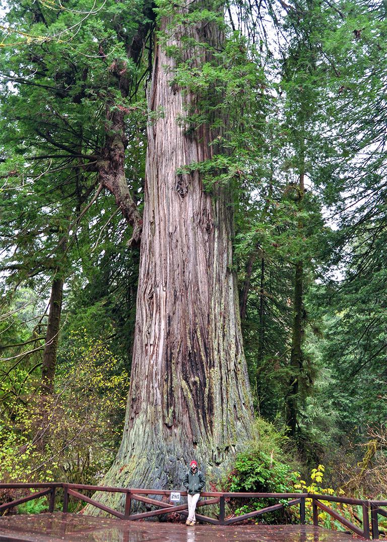 bonsai_mirai_coastal_redwood_scale