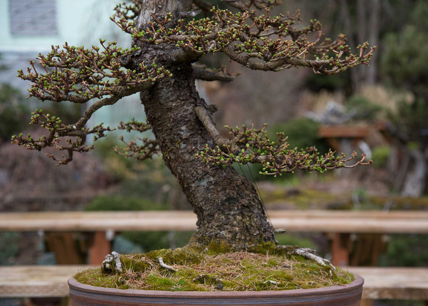 larch_bonsai_budding