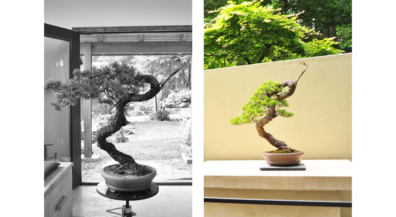 lodgepole_pine_yamadori_styled_bonsai