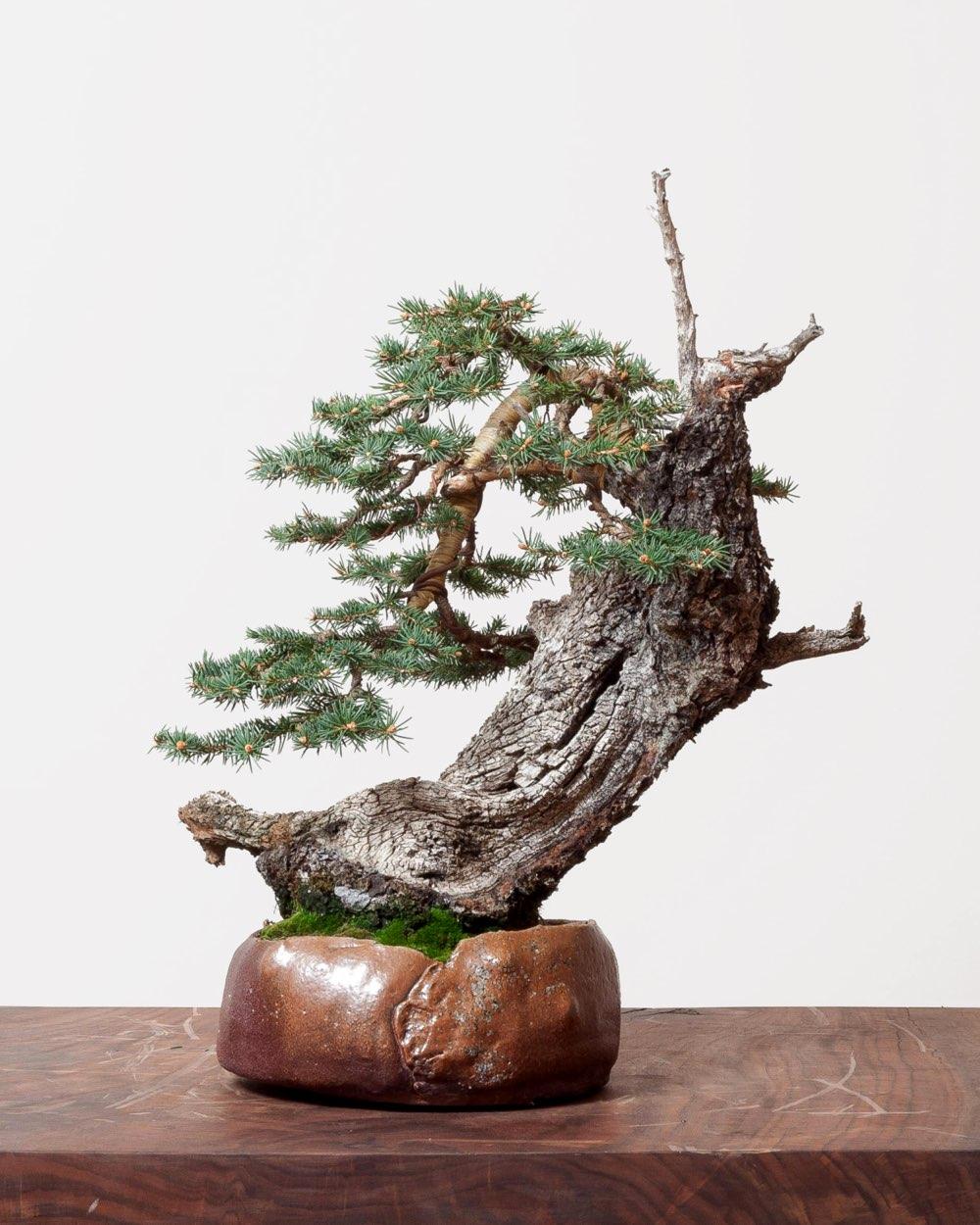 spruce_bonsai_rentenaar_ceramics
