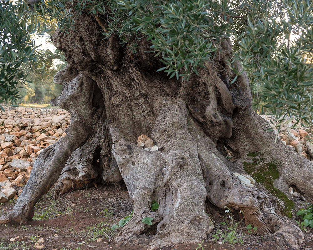 ancient_olive_tree_puglia_italy