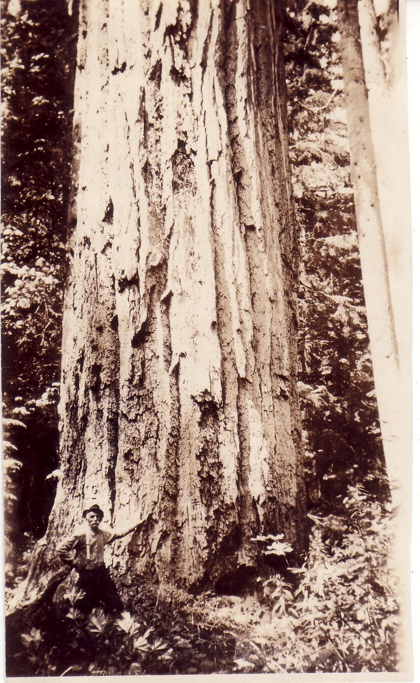 doug_fir_big_Tree