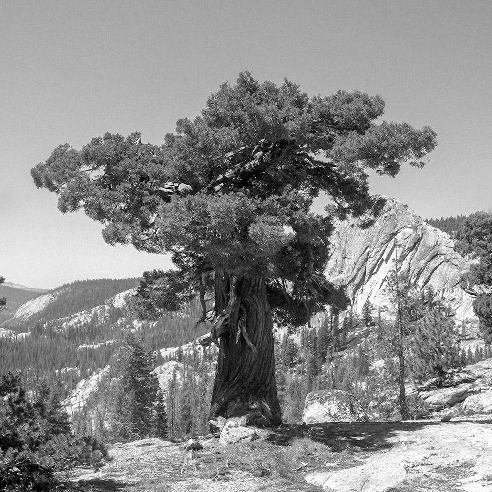 Yosemite_sierra_juniper