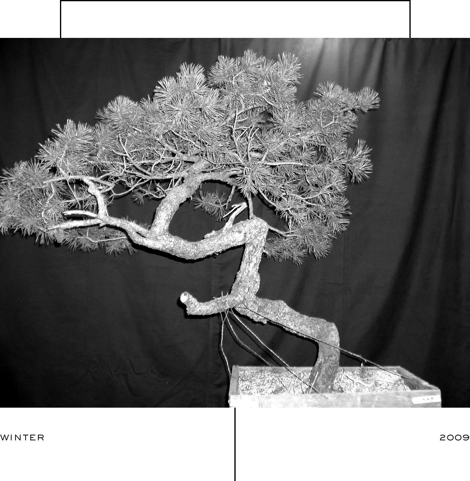 lodgepole_pine_1_mirai_ryan_neil_bonsai