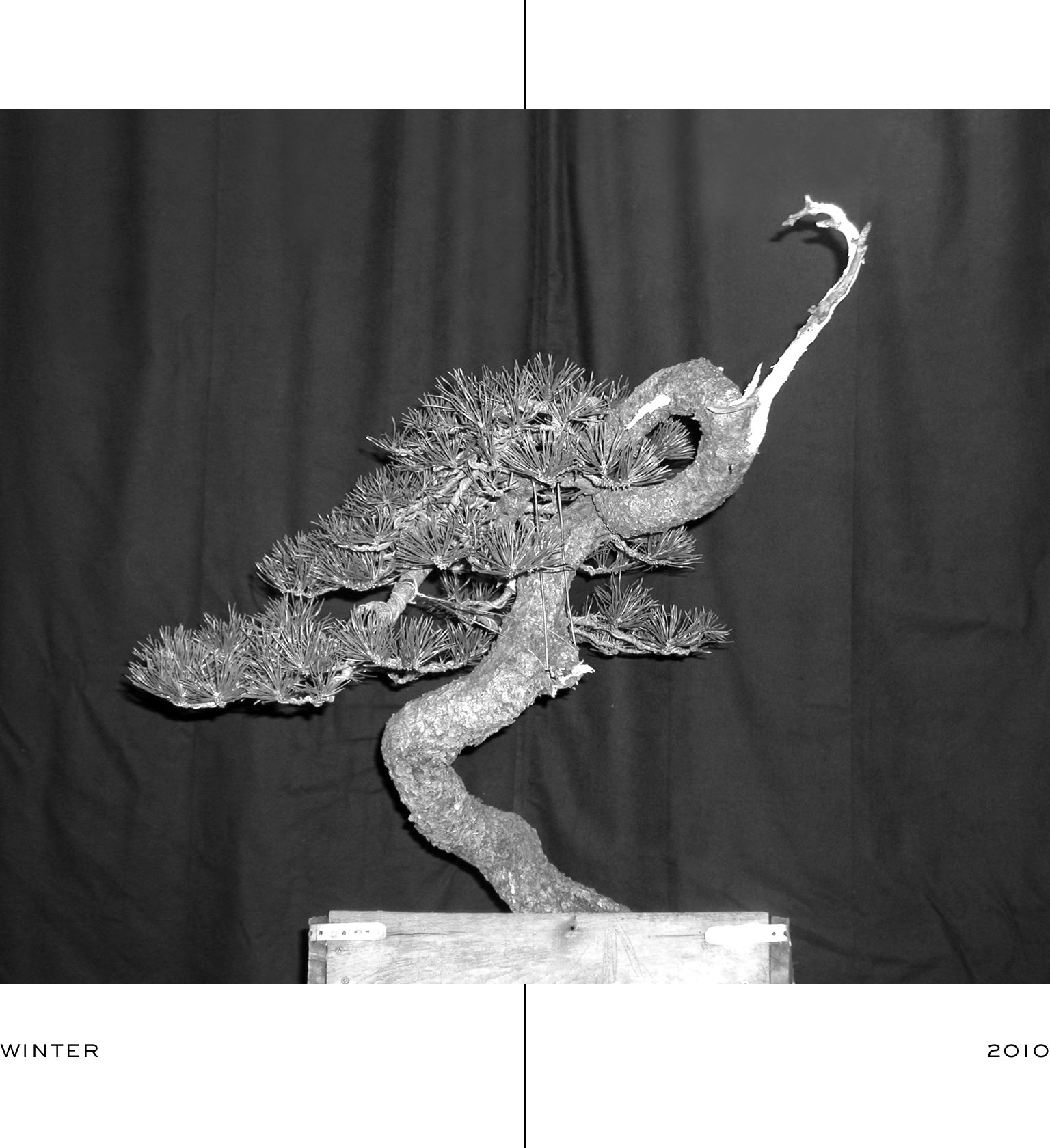 ryan_neil_bonsai_lodgepole_pine_evolution