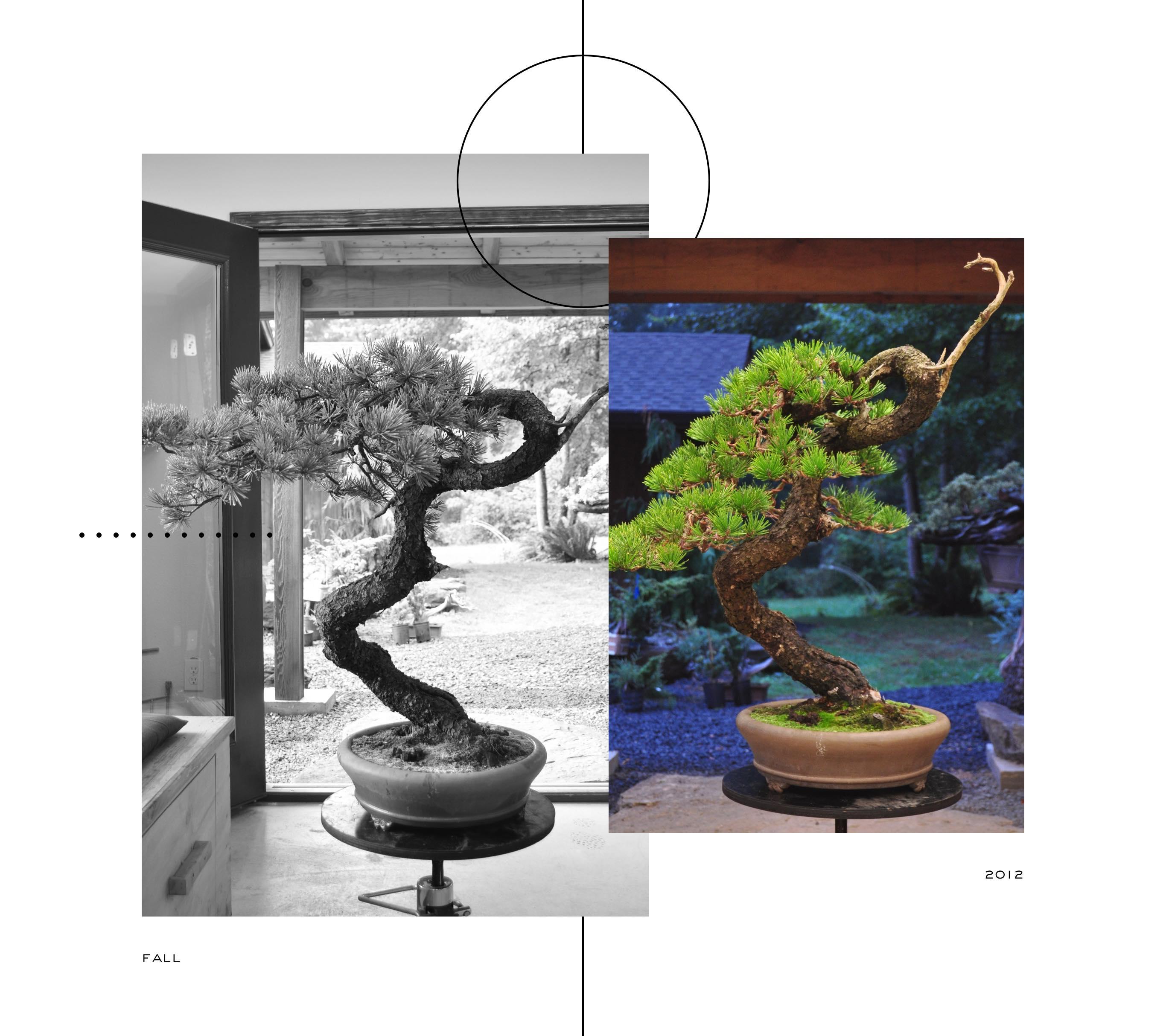lodgepole_pine_bonsai_ryan_neil_evolution