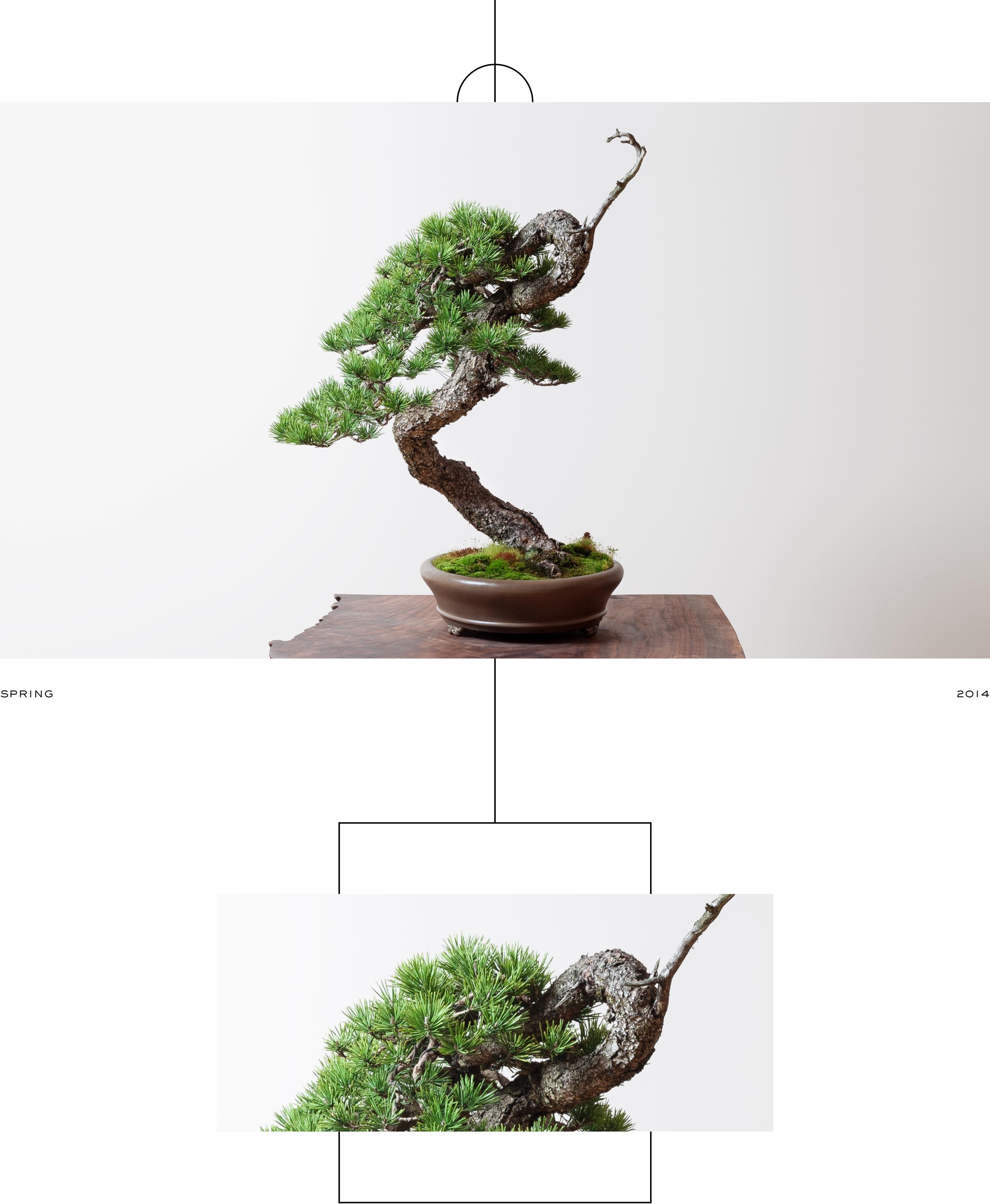 lodgepole_pine_bonsai_ryan_neil