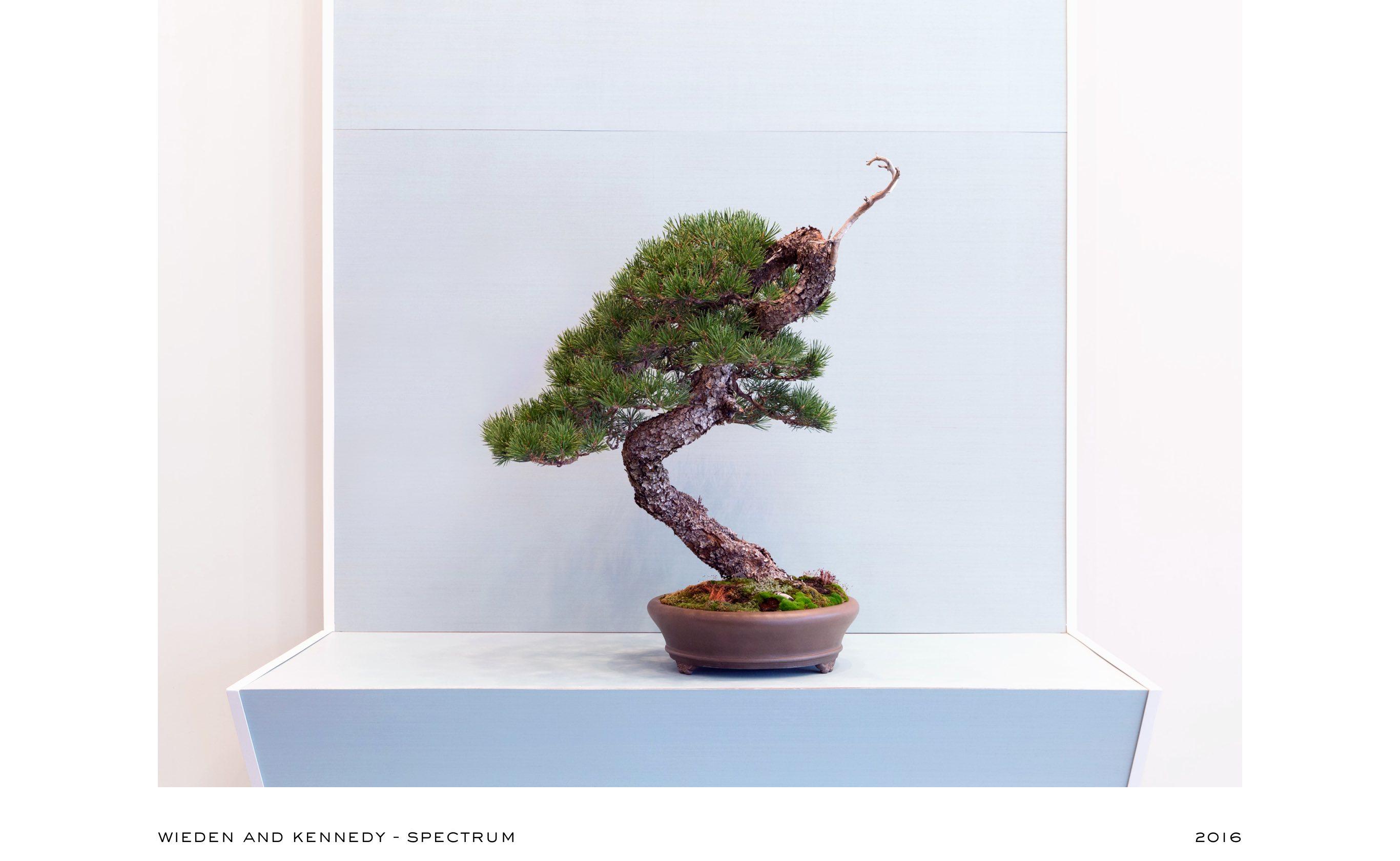 lodgepole_pine_bonsai_no1_mirai