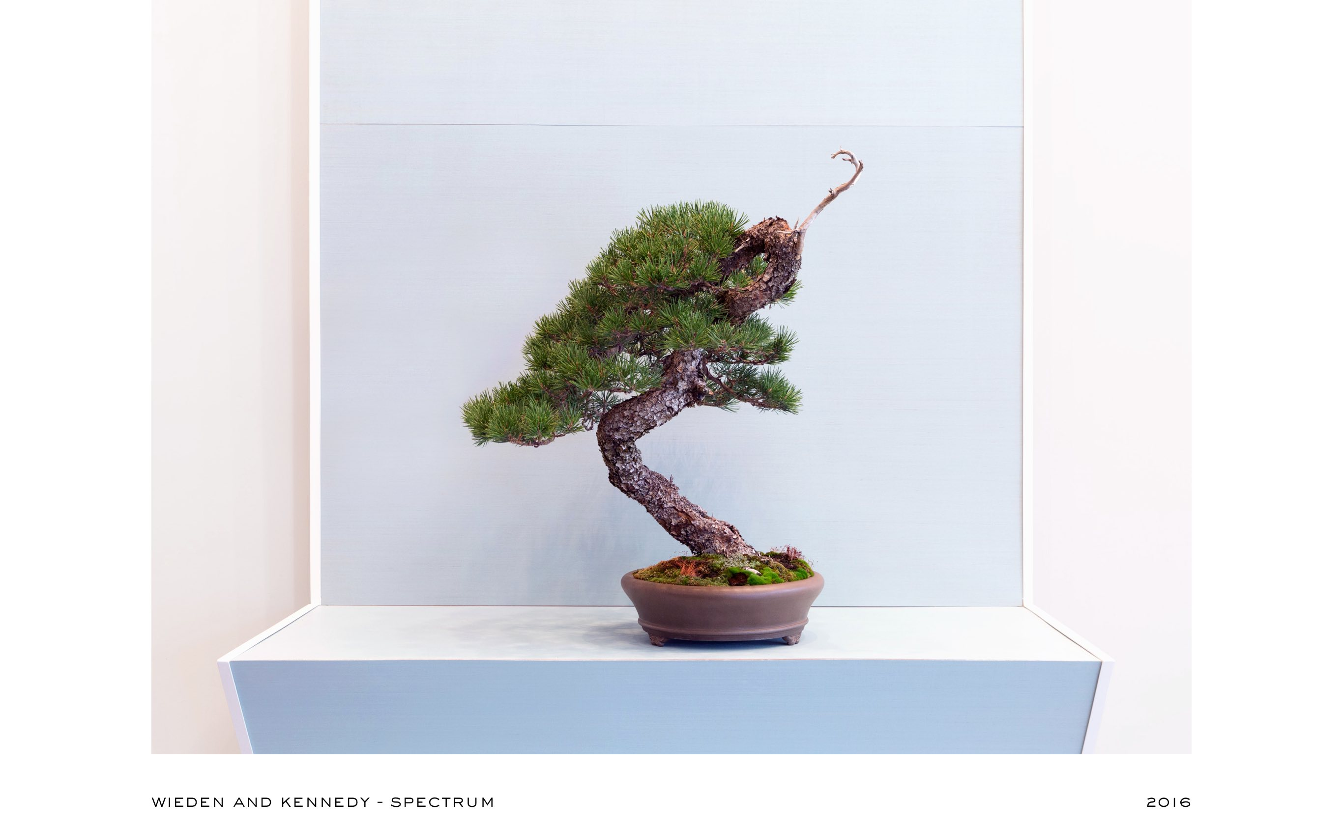 lodgepole_pine_bonsai_no1_mirai