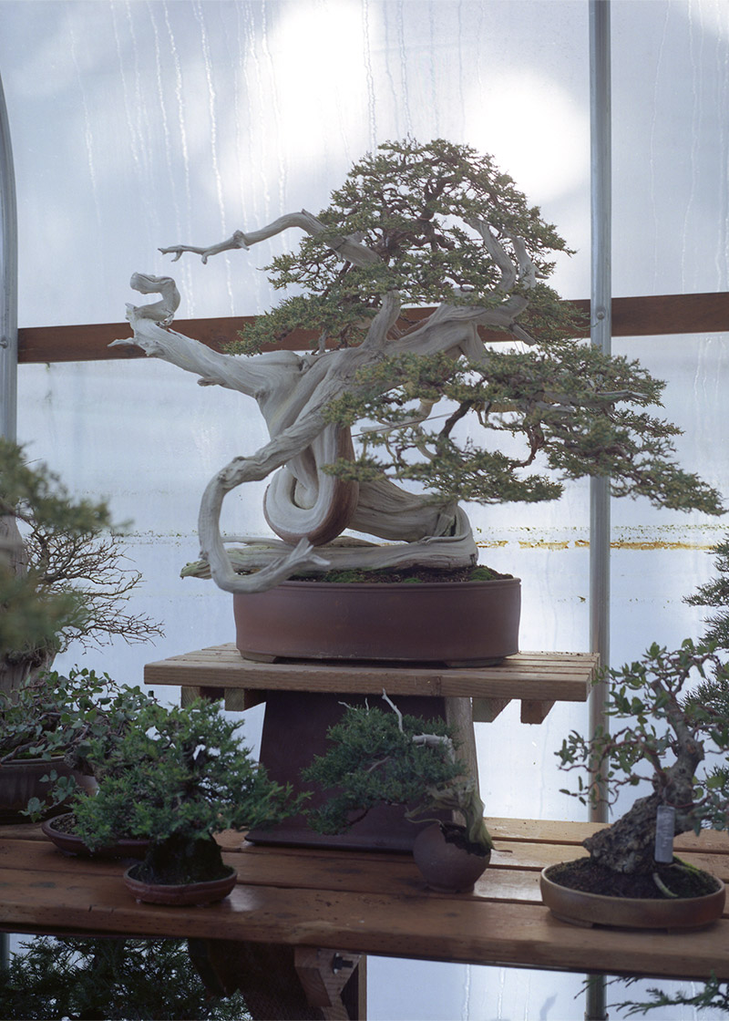hitchcock_arthur_juniper_Bonsai_mirai