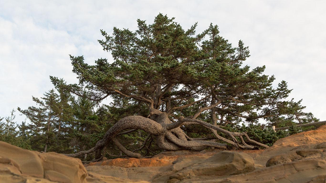 Oregon_Coast_Bonsai_Mirai_Roots