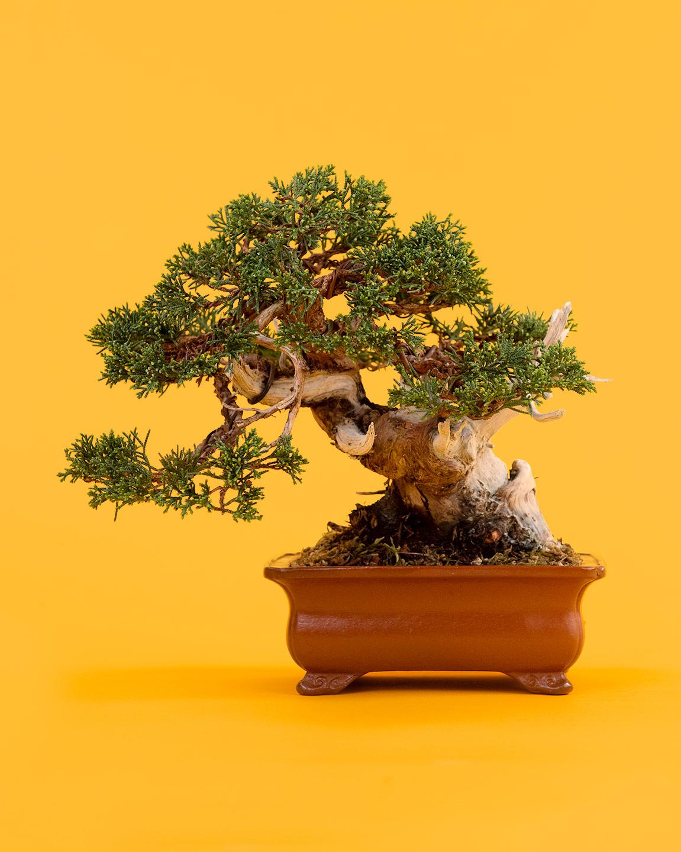 cutting_bonsai_juniper