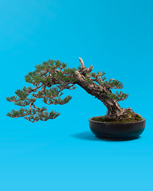 field_grown_bonsai_pine