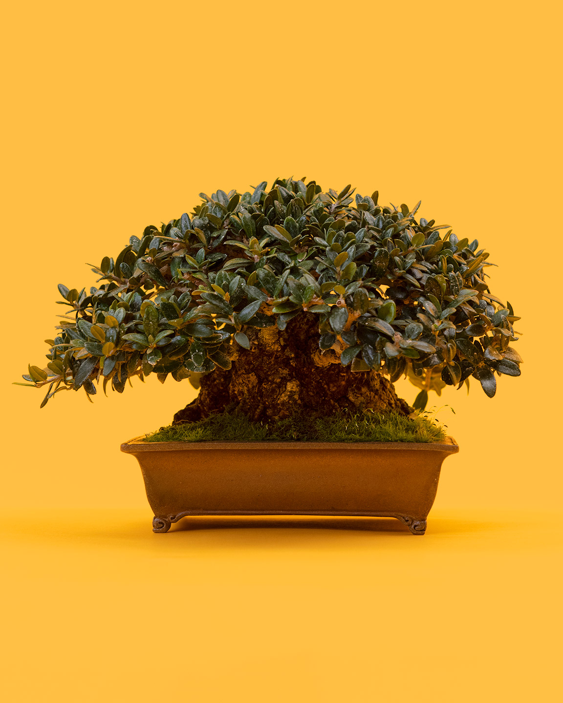 Bonsai Origins Mirai Wiring Juniper Tree It Might Come As A Surprise That Trees From Many Different Sources Some Are Grown Seed Destined To Be The Moment They Sprout