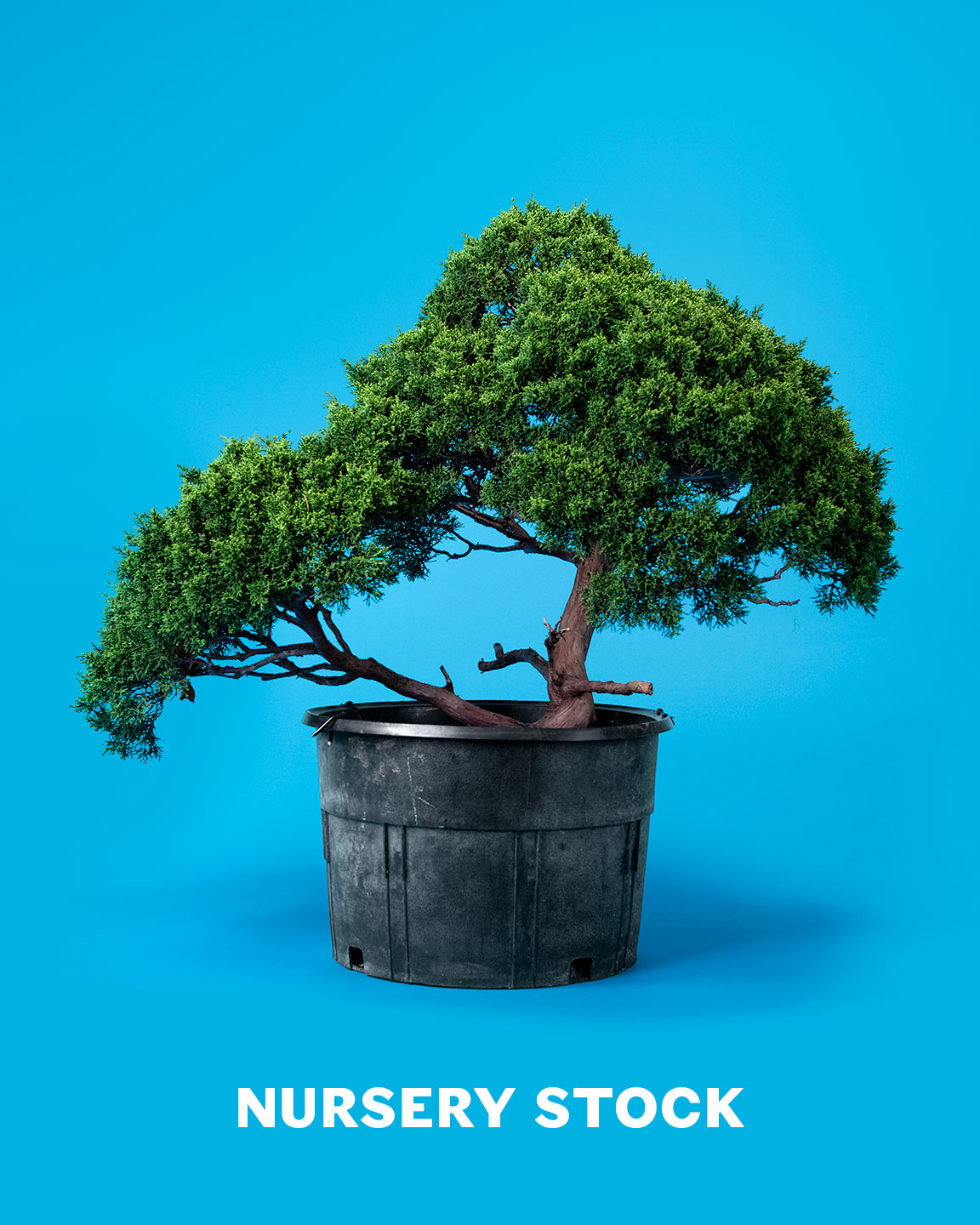 bonsai_nursery_stock