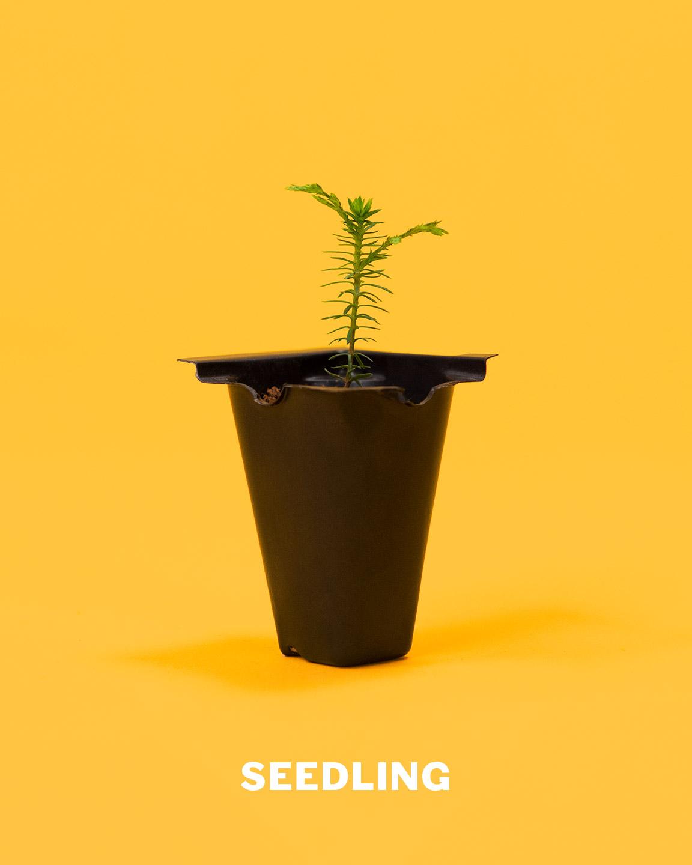 seedling_bonsai