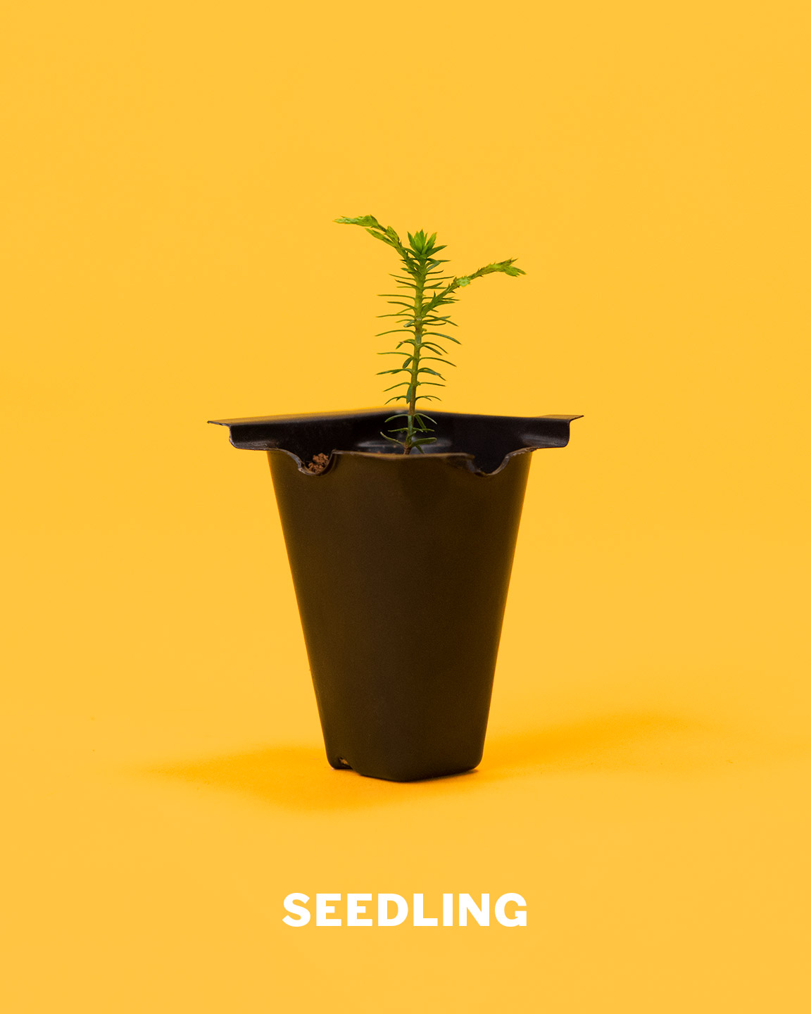 seedling_bonsai