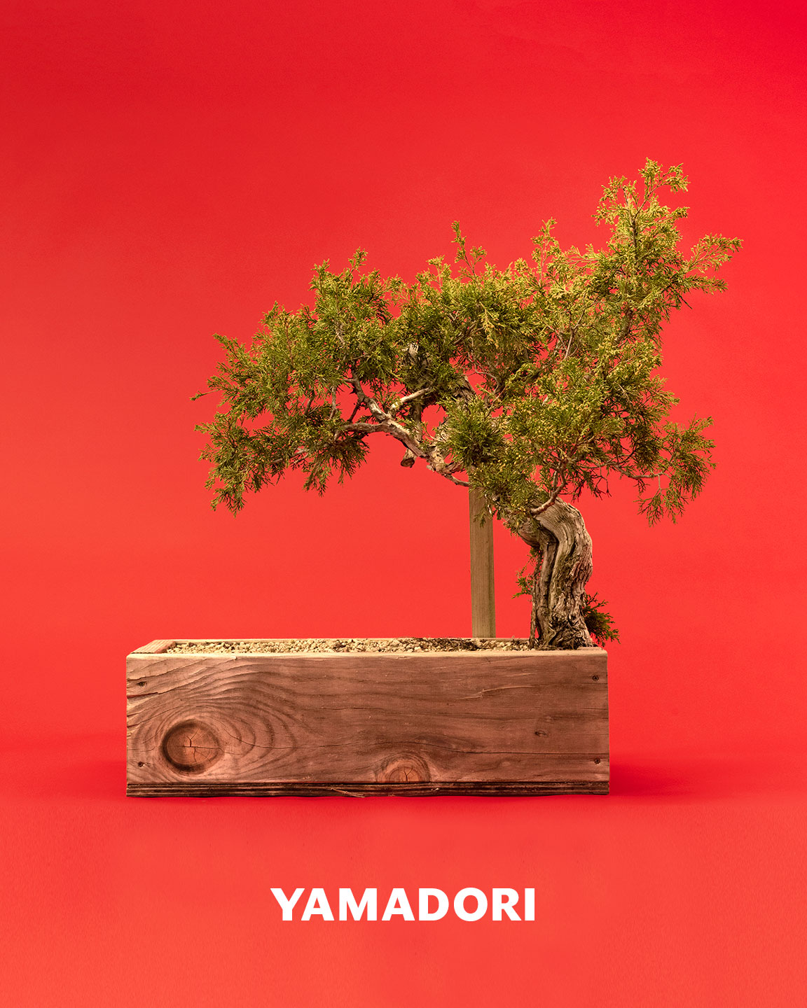 yamadori_juniper_bonsai