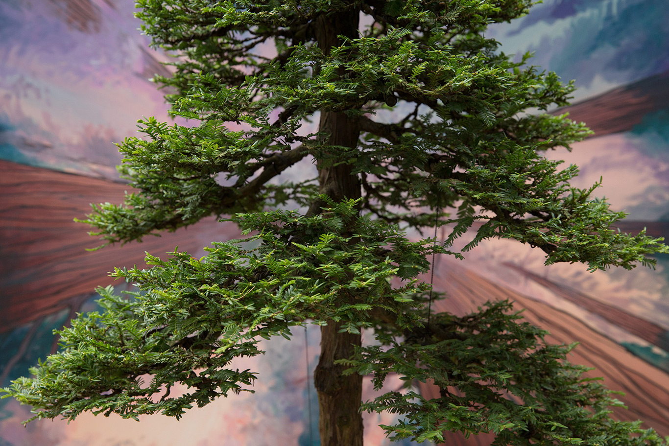 bonsai_redwood_natives
