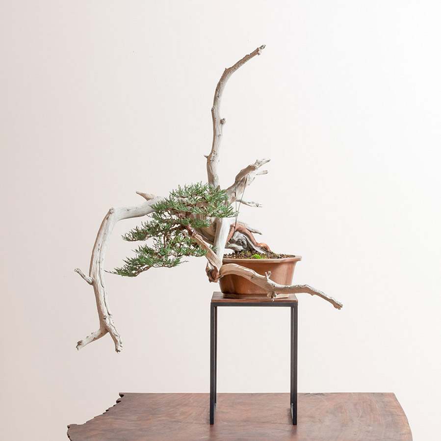rocky_mountain_juniper_chuhin_bonsai