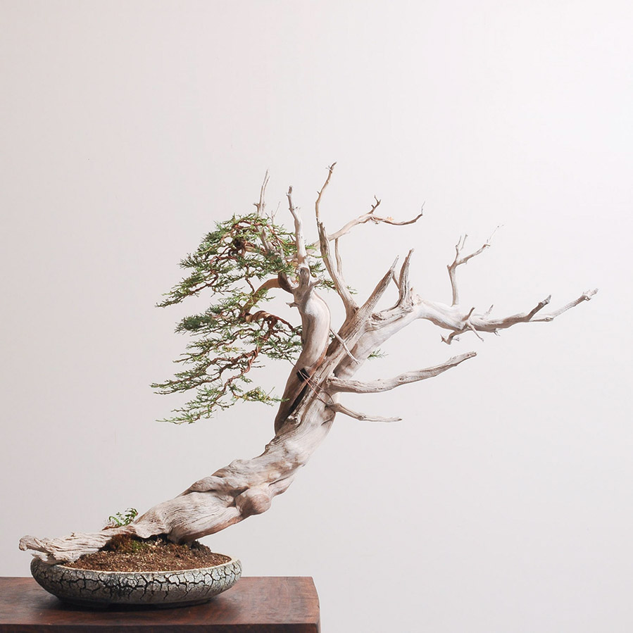 rocky_mountain_juniper_bonsai