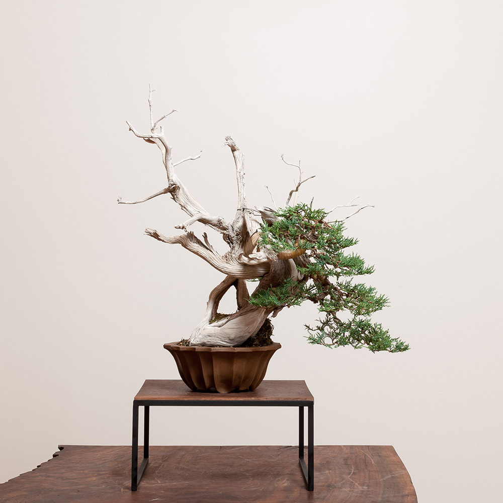 rocky_mountain_juniper_bonsai_tom_benda_ceramics_mirai