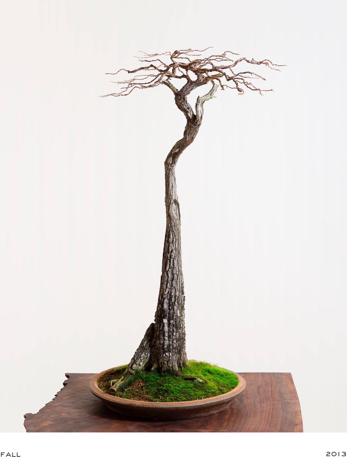 Bald Cypress No 1 Evolution Bonsai Mirai