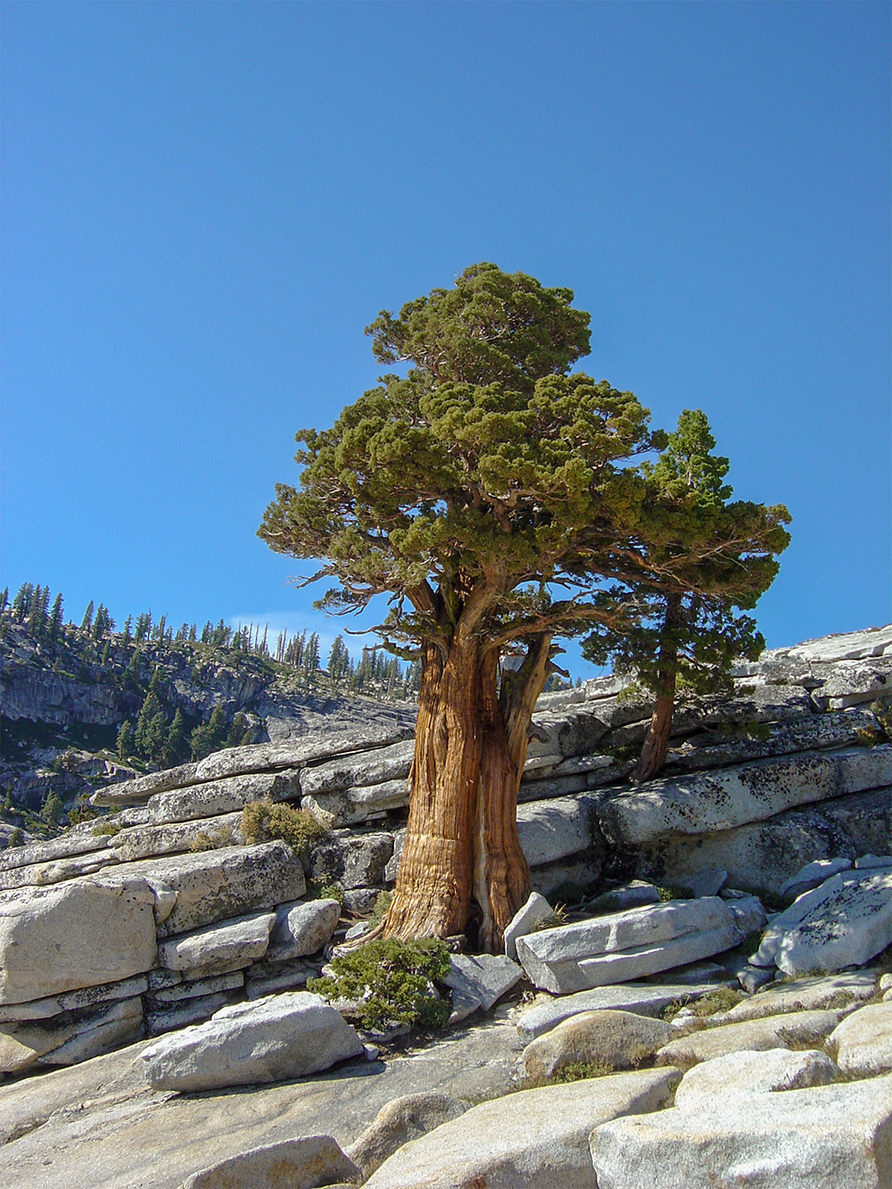 Sierra_juniper_california_tree