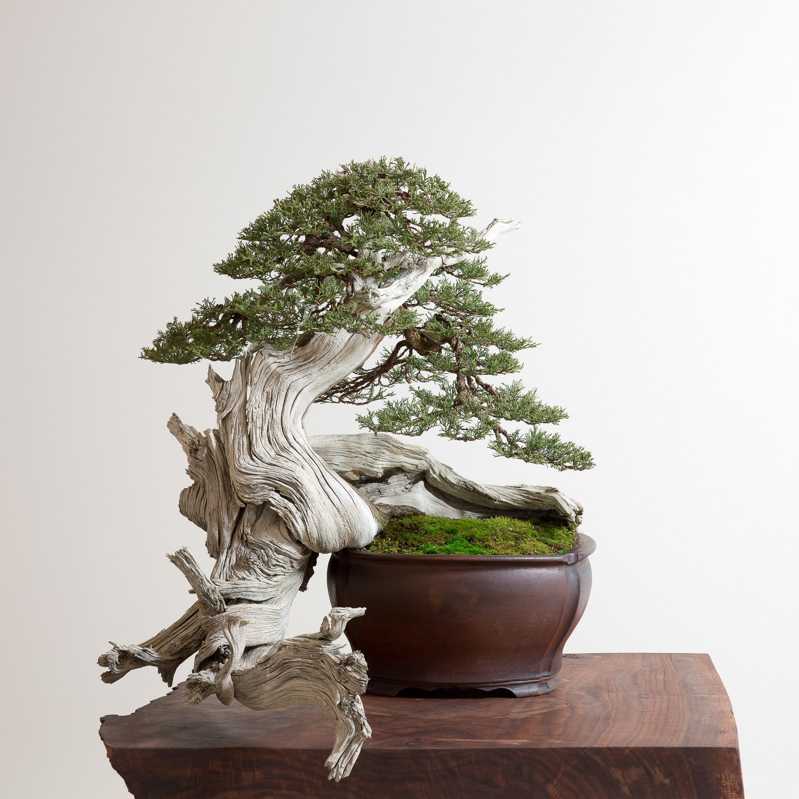 rocky mountain juniper no 1 bonsai mirai