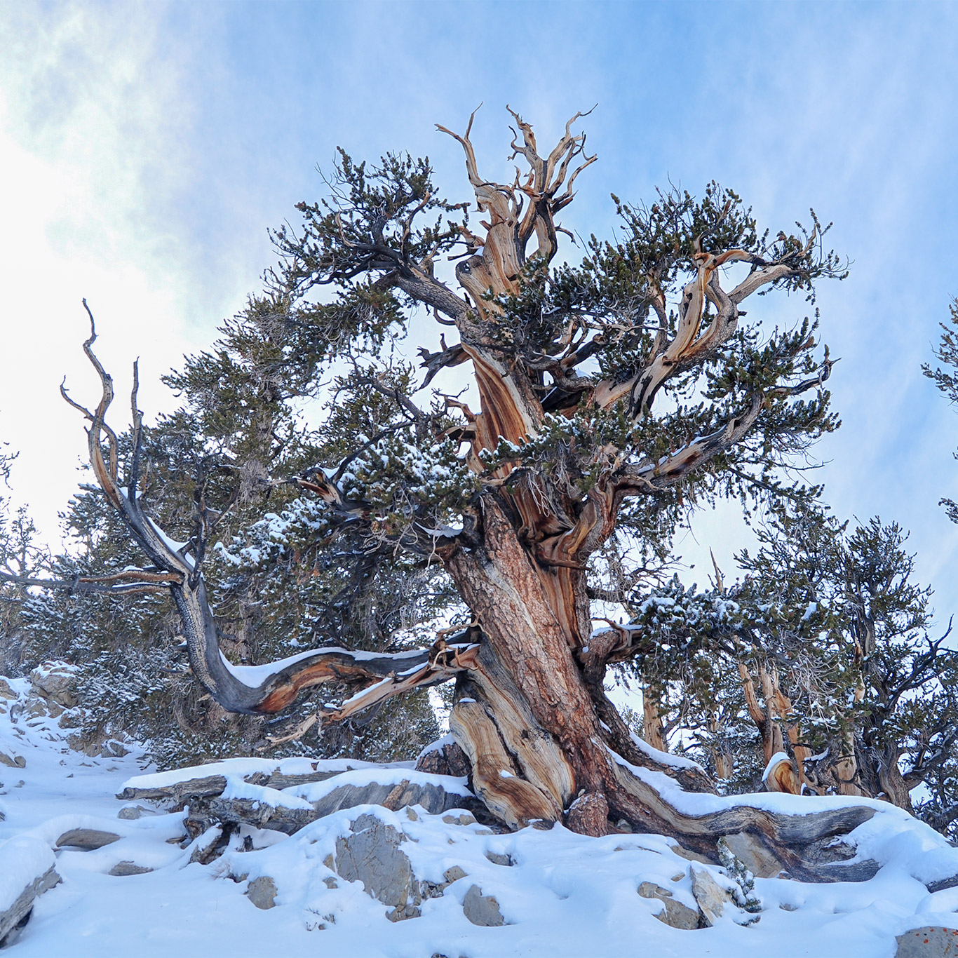 ancient_bristlecone_pine