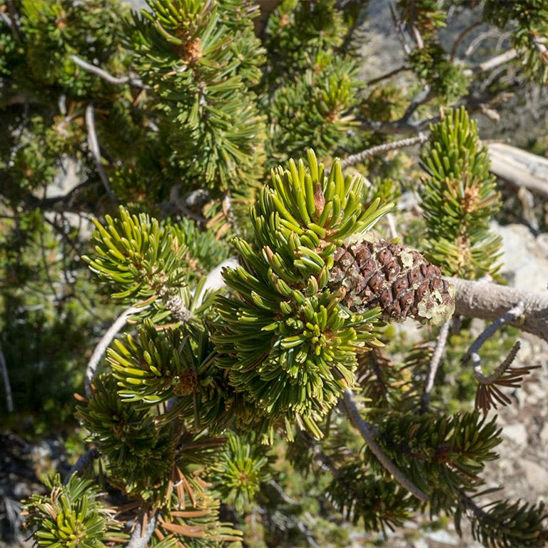 bristlecone_pine_detail