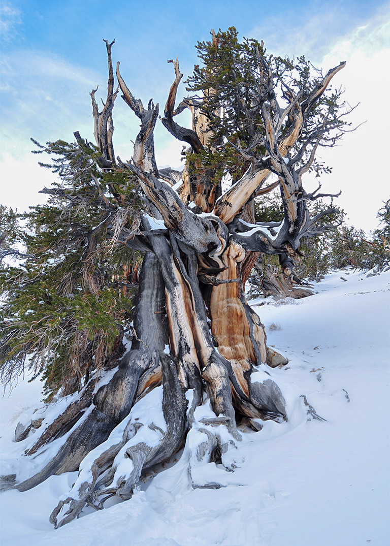 ancient_bristlecone_pines