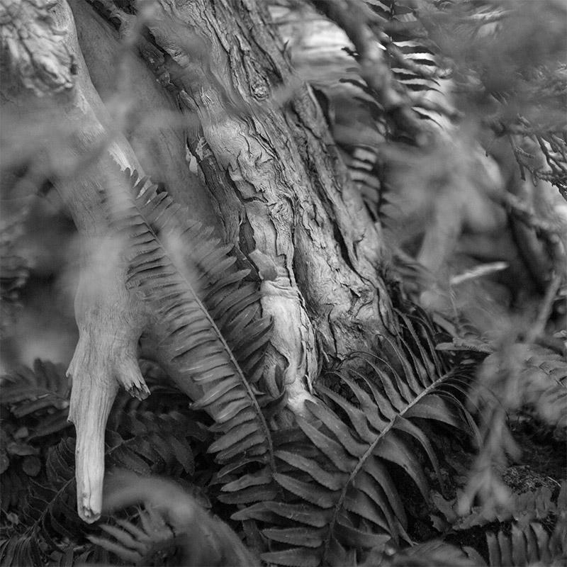 sierra_juniper_detail_bonsai_BW