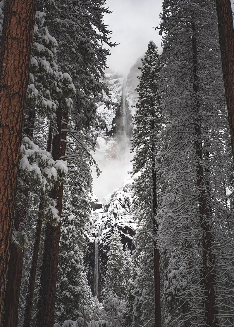 ponderosa_pine_winter_casey_horner