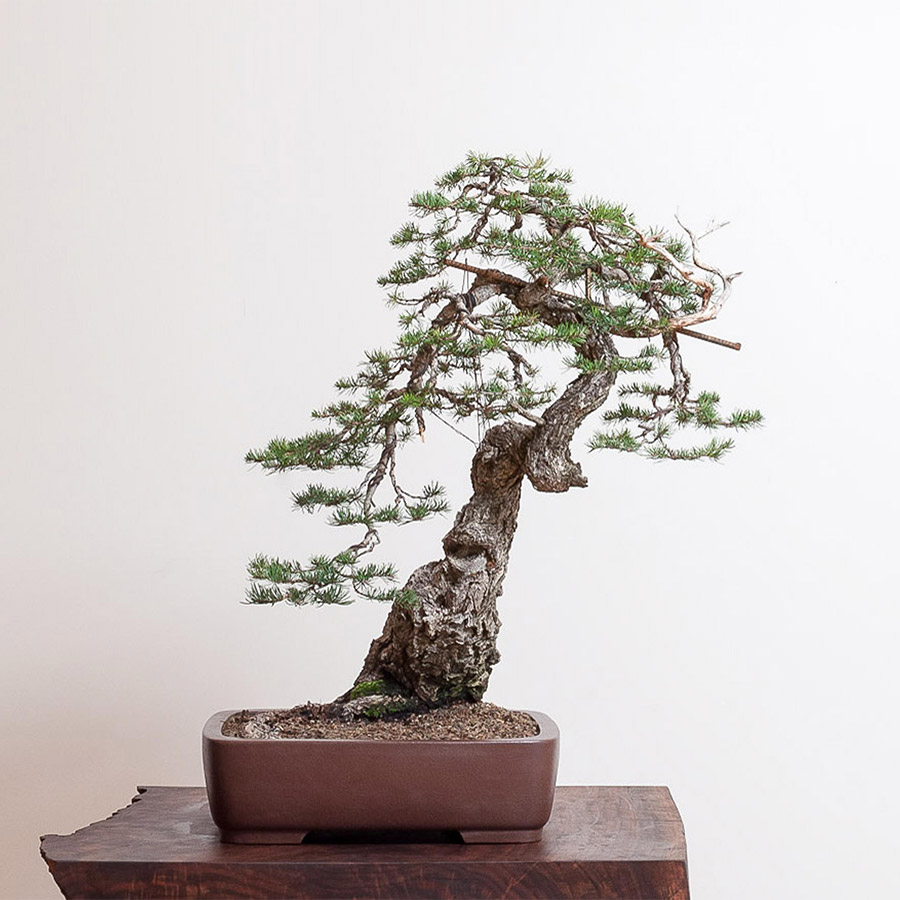doug_fir_bonsai_mirai