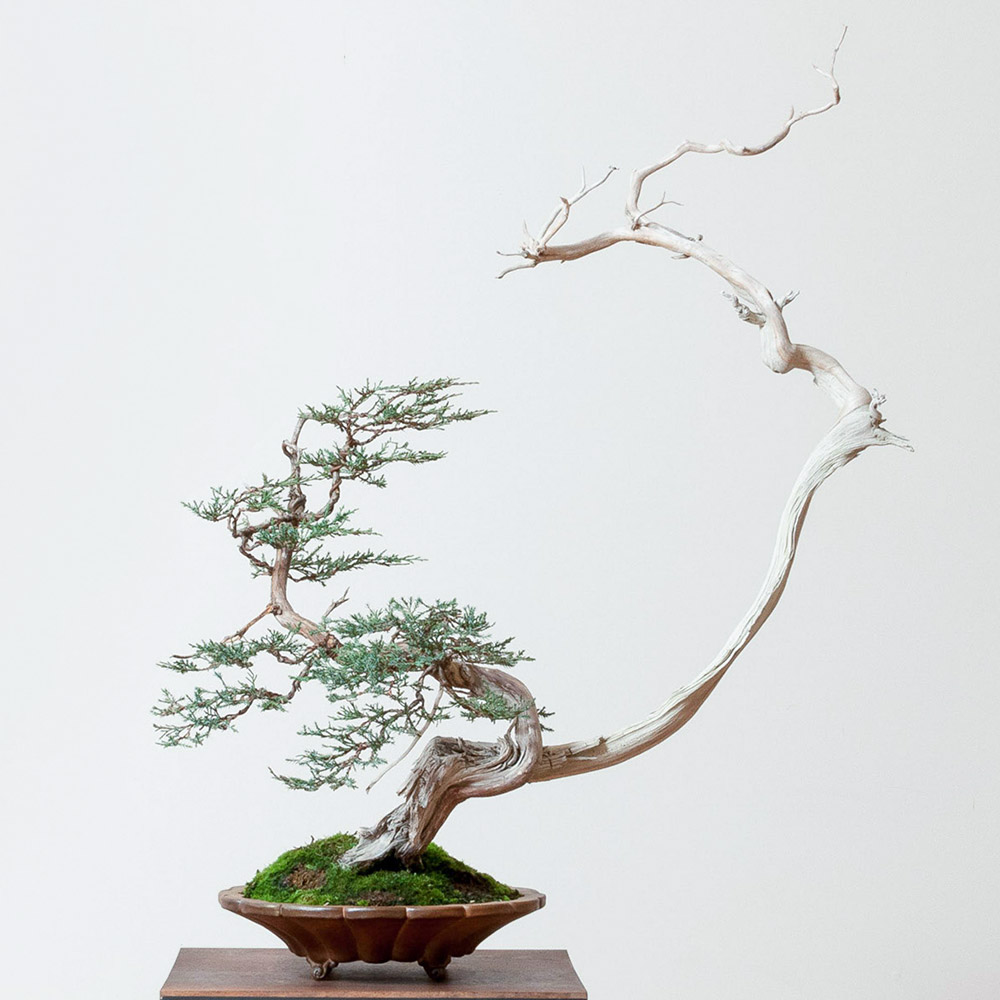 juniper_bonsai_mirai_tom_benda