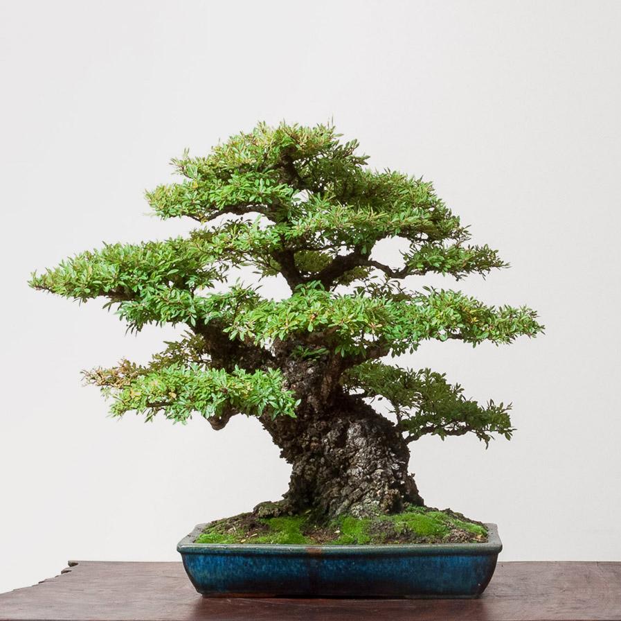 elm_bonsai_mirai