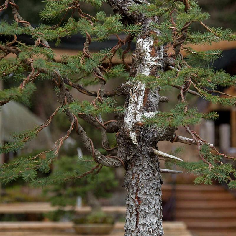 engelmann_spruce_detail